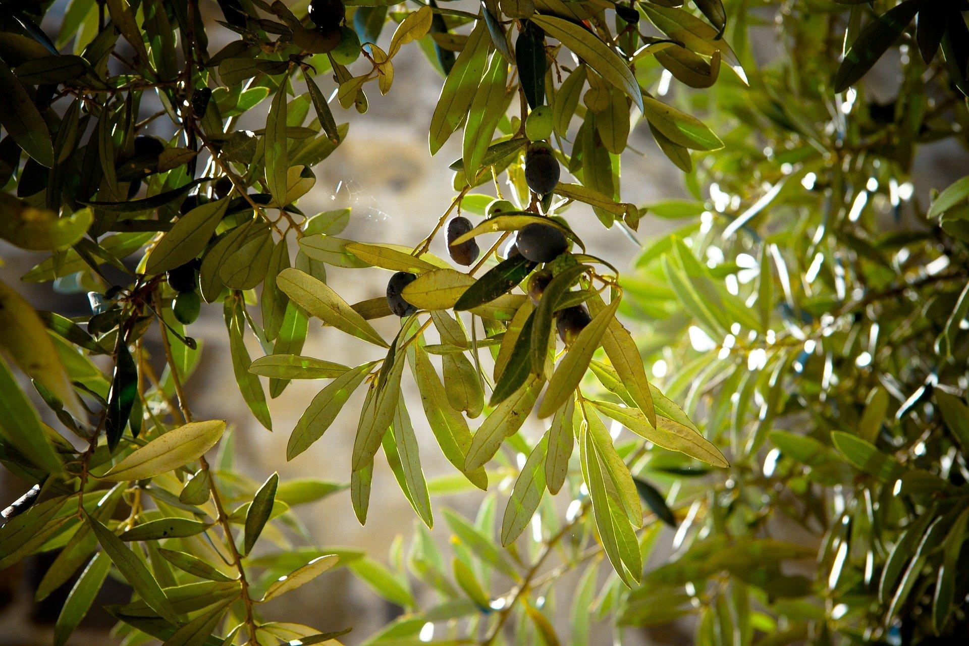 olives 789140 1920 - Agronomist.gr