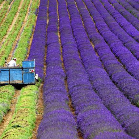 Επιχειρηματική Καλλιέργεια Αρωματικών και Φαρμακευτικών Φυτών