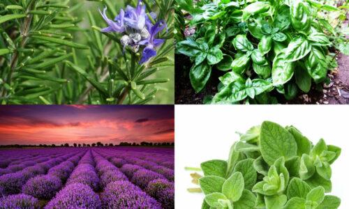 Ολοκληρωμένη Διαχείριση Αρωματικών και Φαρμακευτικών Φυτών