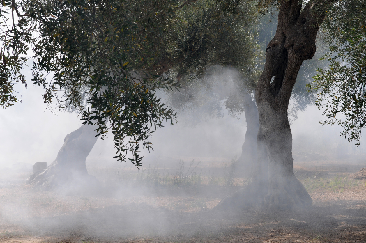 fire in the olive plantation