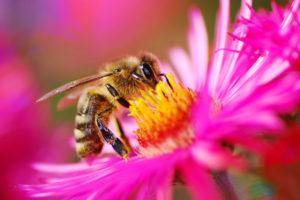 μελισσοτοξικότητα