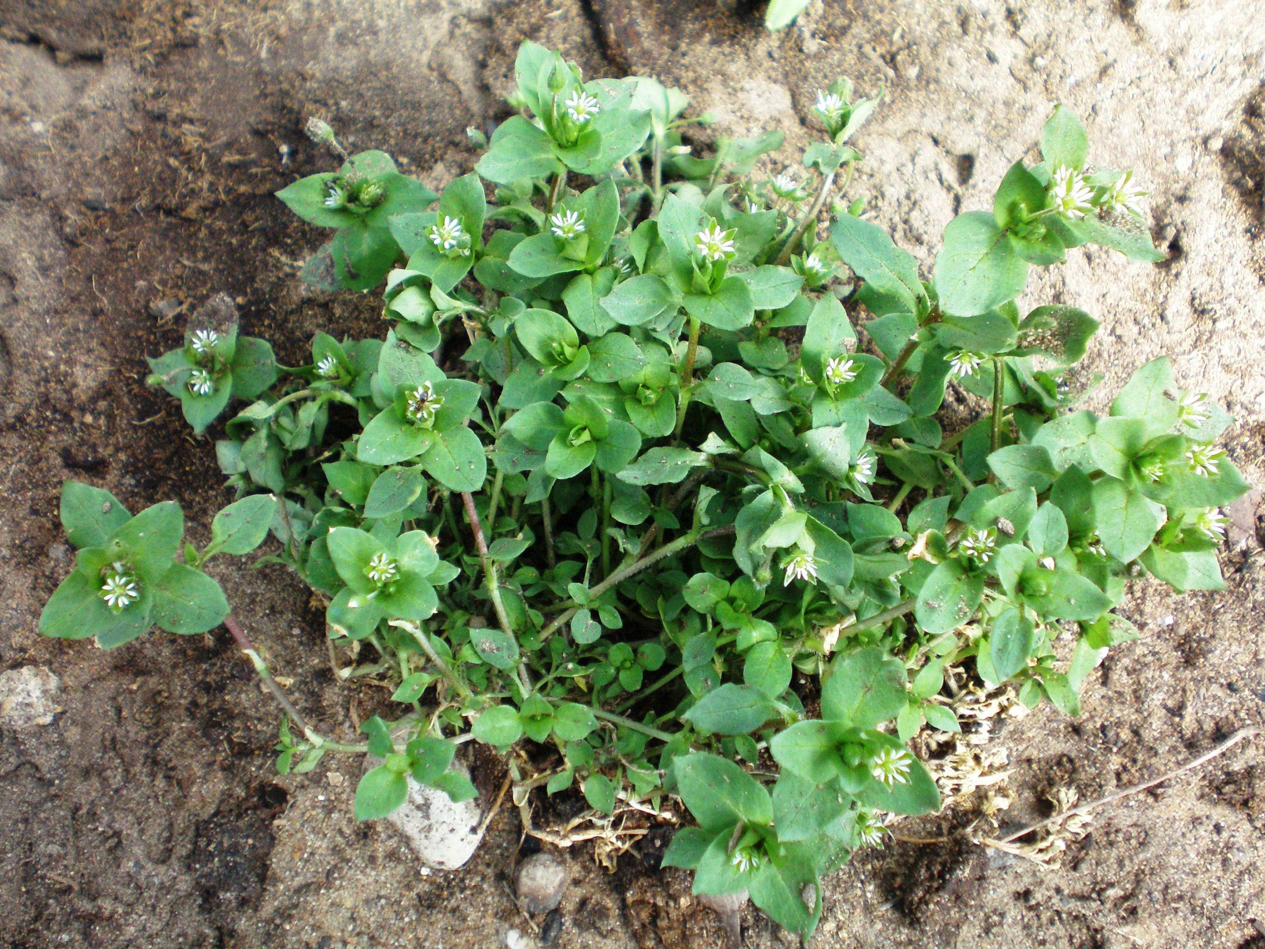 Φυτά δείκτες της ποιότητας του εδάφους-Μέρος 2ο